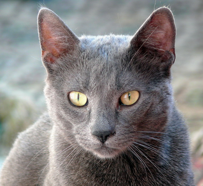"photo ""Blue russian cat"" tags: nature, pets/farm animals"
