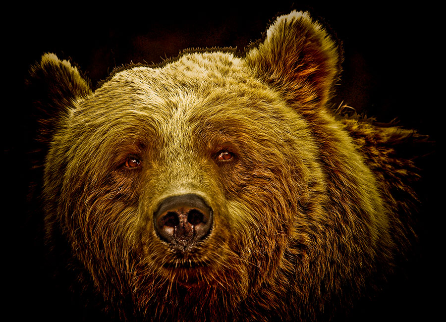 "photo ""Brown Bear"" tags: nature, wild animals"