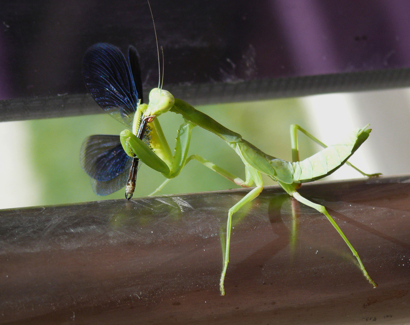 """фото """"Хищник"""" метки: природа, макро и крупный план, насекомое"""