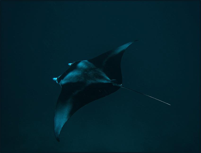 """фото """"Манта. Мальдивы. Август 2009."""" метки: подводные, путешествия,"""