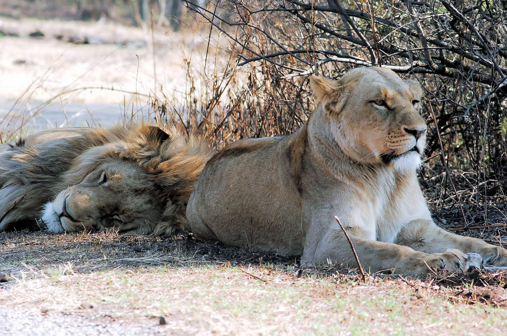 "photo ""2  Lions relaxing"" tags: nature, wild animals"