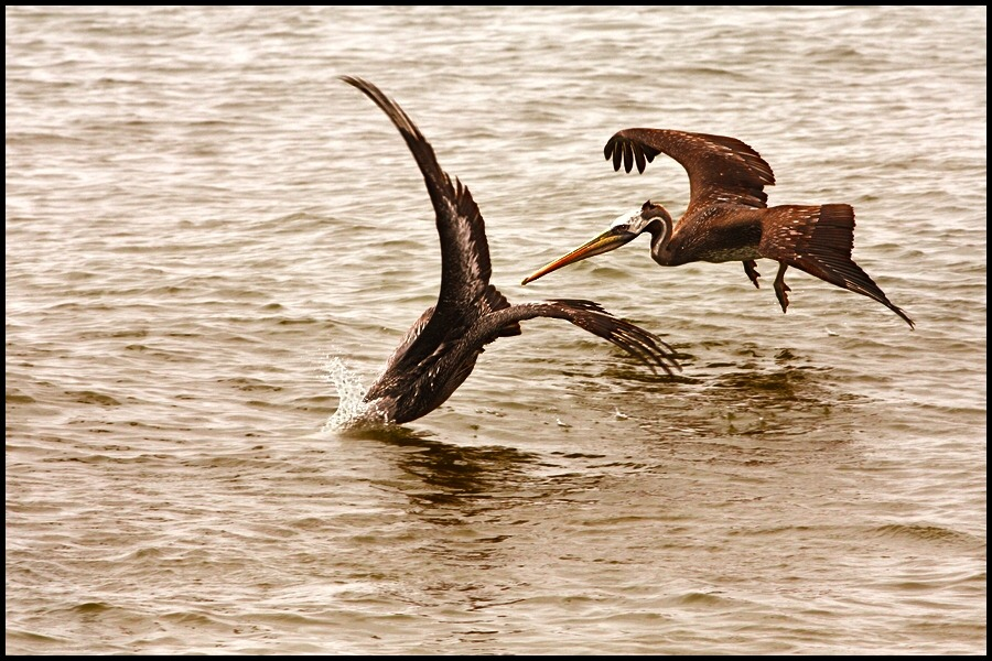 "photo ""hunting pelicans"" tags: nature, wild animals"