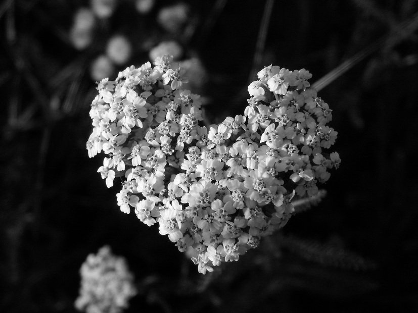 "photo ""***"" tags: black&white, nature, flowers"