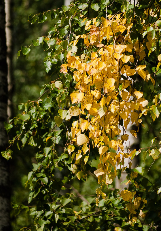 "photo ""The first yellow leaves ..."" tags: landscape, forest, summer"