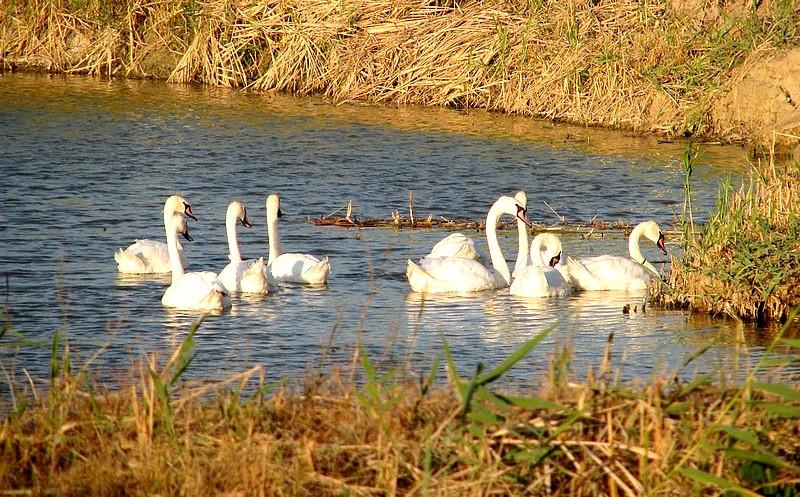 """фото """"лебеди"""" метки: природа, дикие животные"""