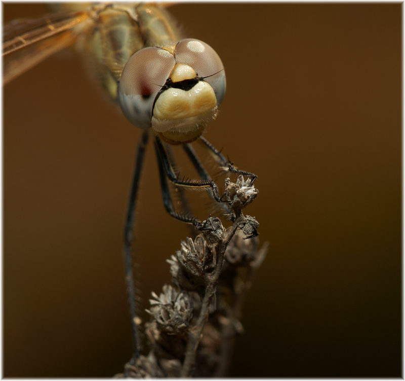 "photo ""Crazy Dragon"" tags: macro and close-up, nature, insect"