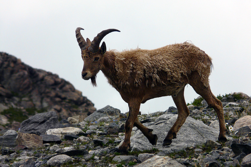 "photo ""The mountain wanderer"" tags: nature, wild animals"