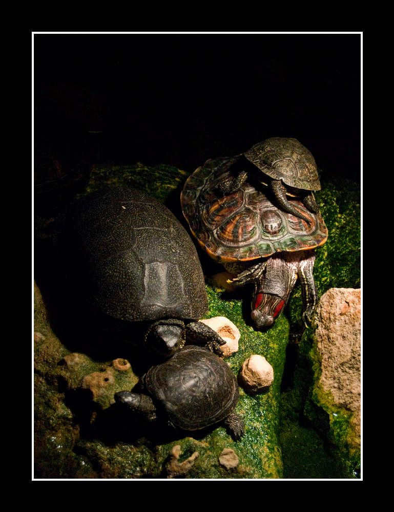 """фото """"Черепахи"""" метки: природа, дикие животные"""
