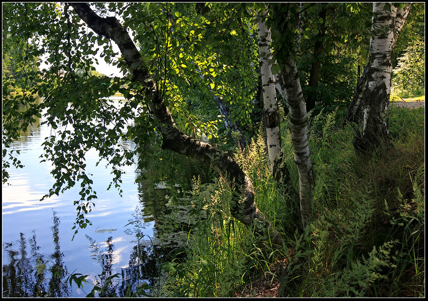 "photo ""birch on the water"" tags: landscape, forest, water"
