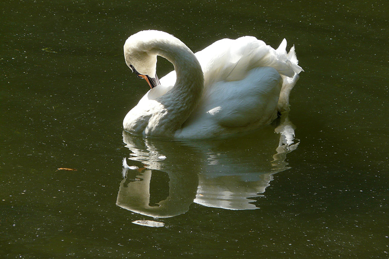 "photo ""Swan"" tags: nature, reporting, wild animals"