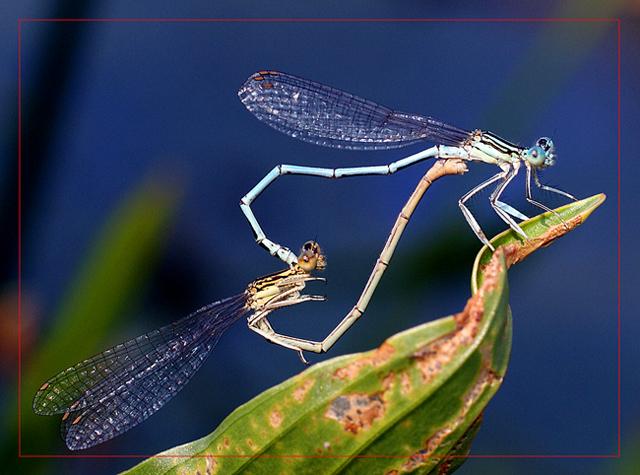 """photo """"макро,насекомые,стрекоза"""" tags: macro and close-up, genre,"""