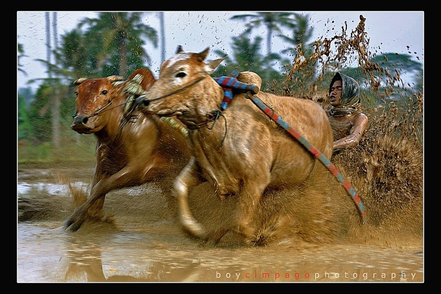 "photo ""Pacu Jawi, Road Cow"" tags: travel, sport, Asia"