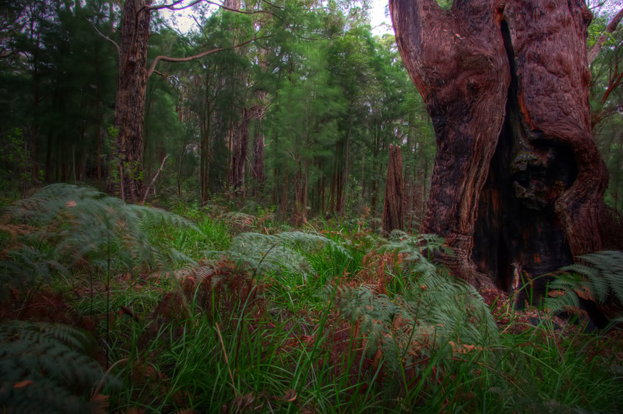 "photo ""Deep in the Tingle forrest"" tags: landscape, forest"