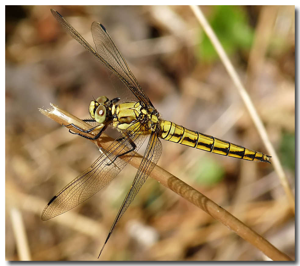 "фото ""Orthetrum cancellatum -Female Black-tailed Skimmer"" метки: природа, насекомое"