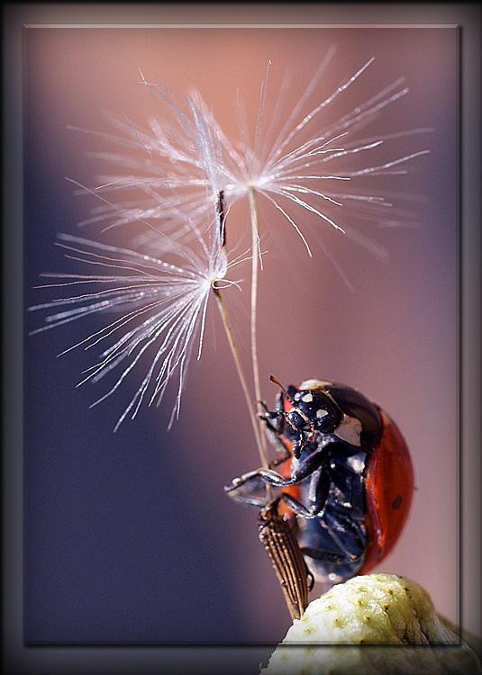 """фото """"Ветер знает где меня искать"""" метки: макро и крупный план, природа, насекомое"""