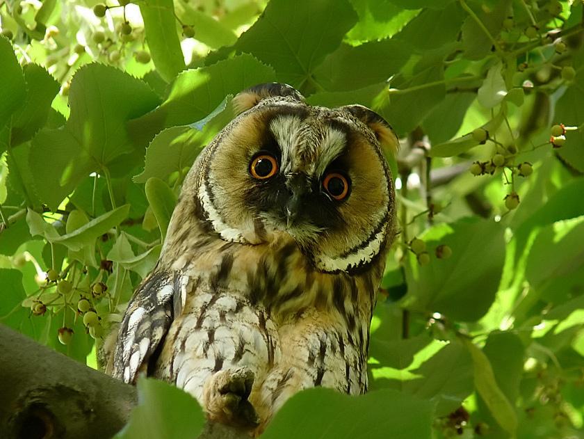 "фото ""Ушастая сова - Asio otus"" метки: природа, дикие животные"