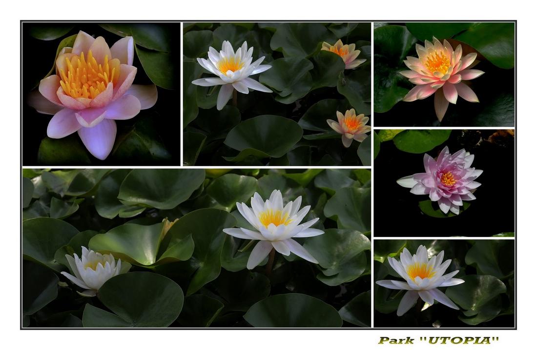 """фото """"Водяная лилия!-(коллаж)"""" метки: природа, цветы"""