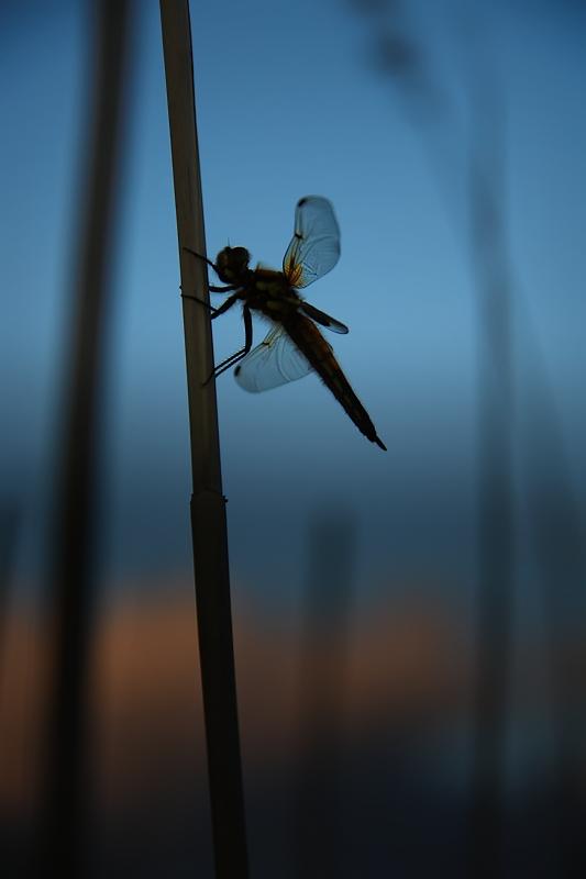 """фото """"В ожидании ночи"""" метки: природа, насекомое"""
