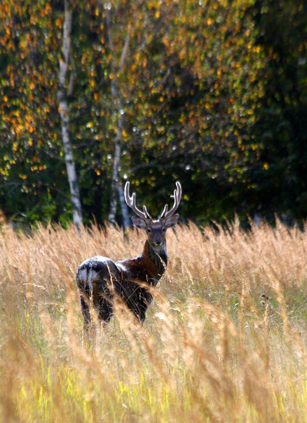 """фото """"В золоте трав..."""" метки: природа, дикие животные"""