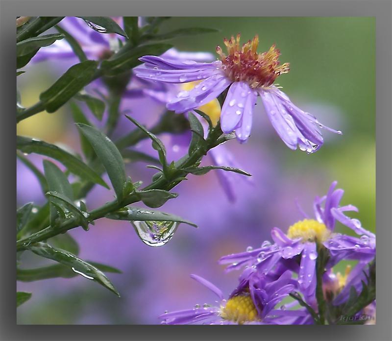 """фото """"Осенний дождь."""" метки: природа, цветы"""
