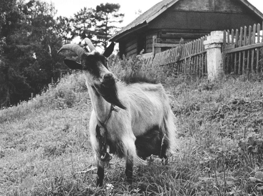 "фото ""Коза-дереза"" метки: природа, жанр, домашние животные"