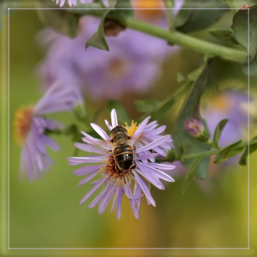 """фото """"Хризантема"""" метки: природа, цветы"""