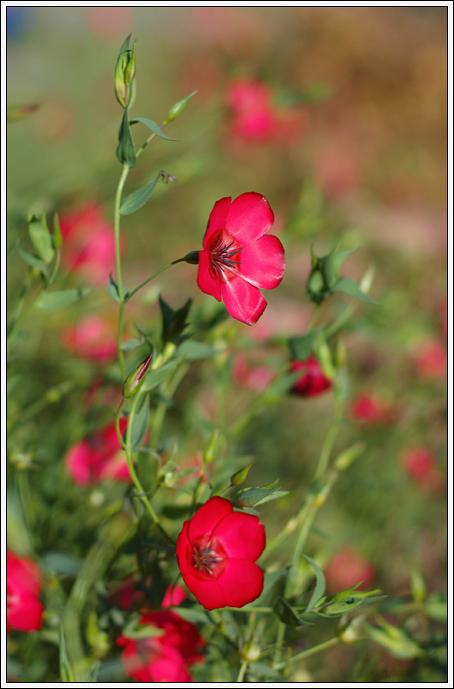"""фото """"Алые цветы"""" метки: природа, цветы"""