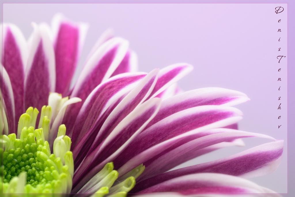 """фото """"Chrysanthemum"""" метки: природа, макро и крупный план, цветы"""