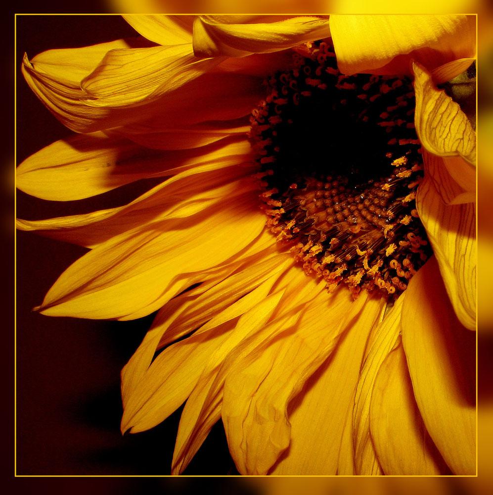 """фото """"Подсолнух:)"""" метки: природа, цветы"""