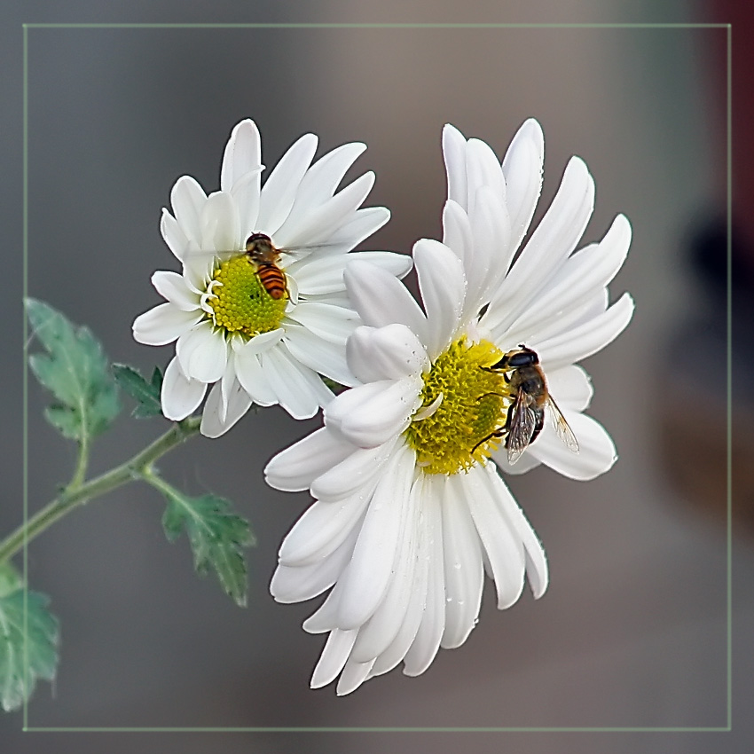 """фото """"Хризантемы"""" метки: природа, дикие животные, цветы"""