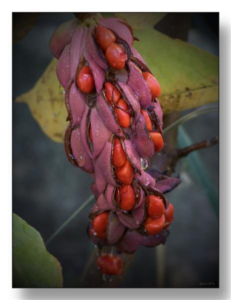 """фото """"Цвета осени ( магнолия )"""" метки: природа, цветы"""