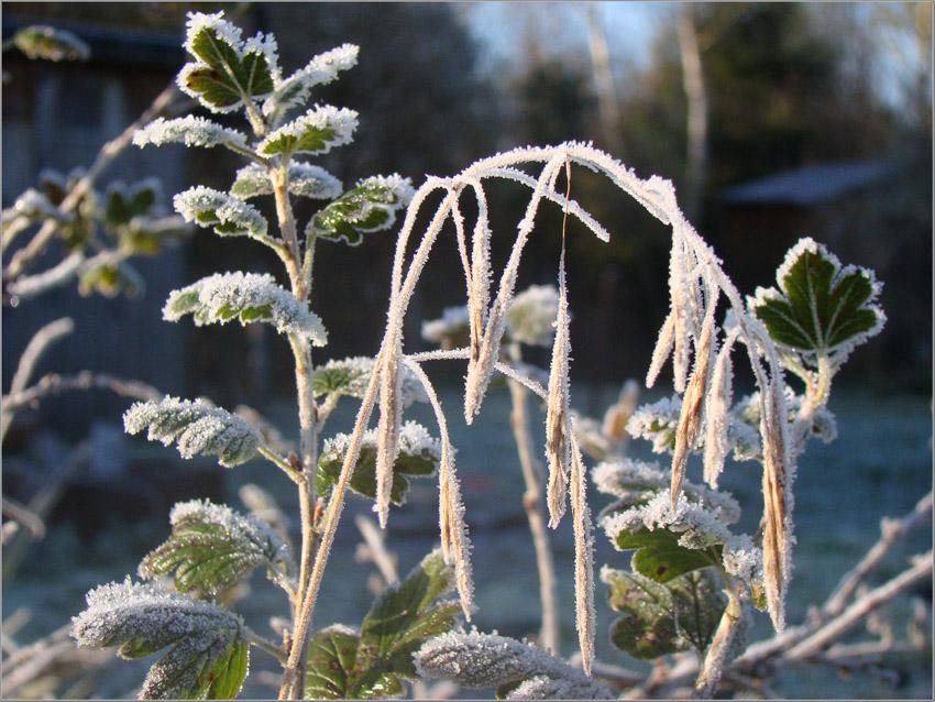 """фото """"Серьги для Снегурочки"""" метки: природа, цветы"""