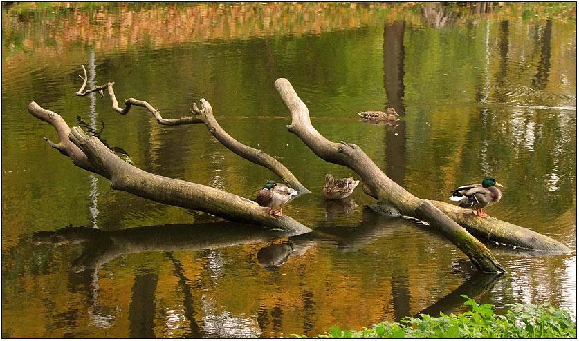"""фото """"Остаёмся зимовать."""" метки: пейзаж, природа, вода, дикие животные"""