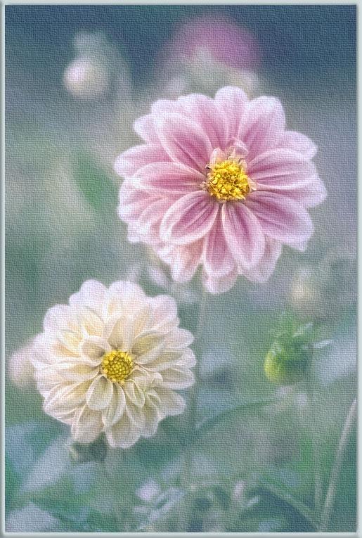 """фото """"Сон георгина"""" метки: природа, цветы"""