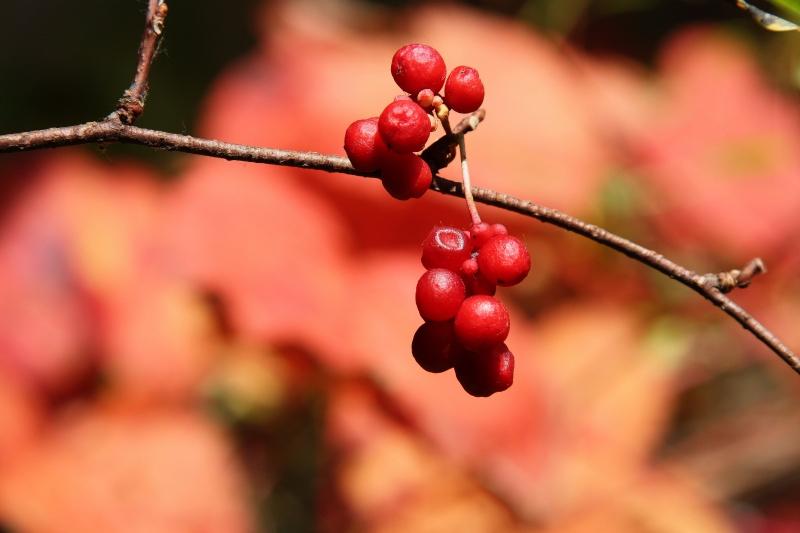"""фото """"Лимонник"""" метки: природа, цветы"""