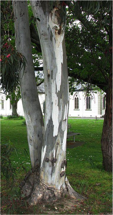 "фото ""Eucalyptus Tree Bark"" метки: природа, цветы"