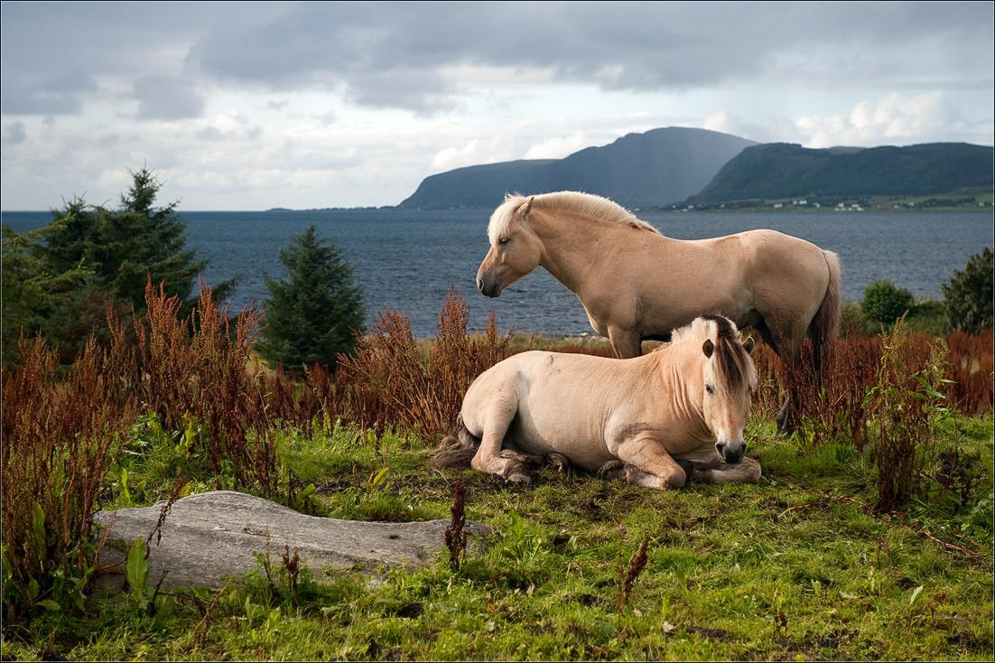 """фото """"Грустные норвежские лошадки"""" метки: пейзаж, природа, домашние животные"""