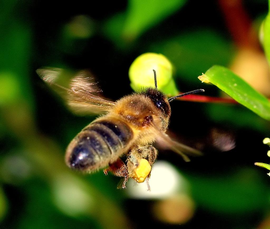 """фото """"Always working for honey..."""" метки: природа, насекомое"""