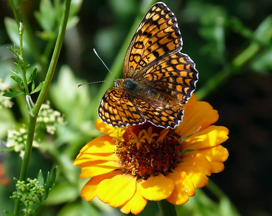 """фото """"Melitaea phoebe"""" метки: природа, насекомое"""