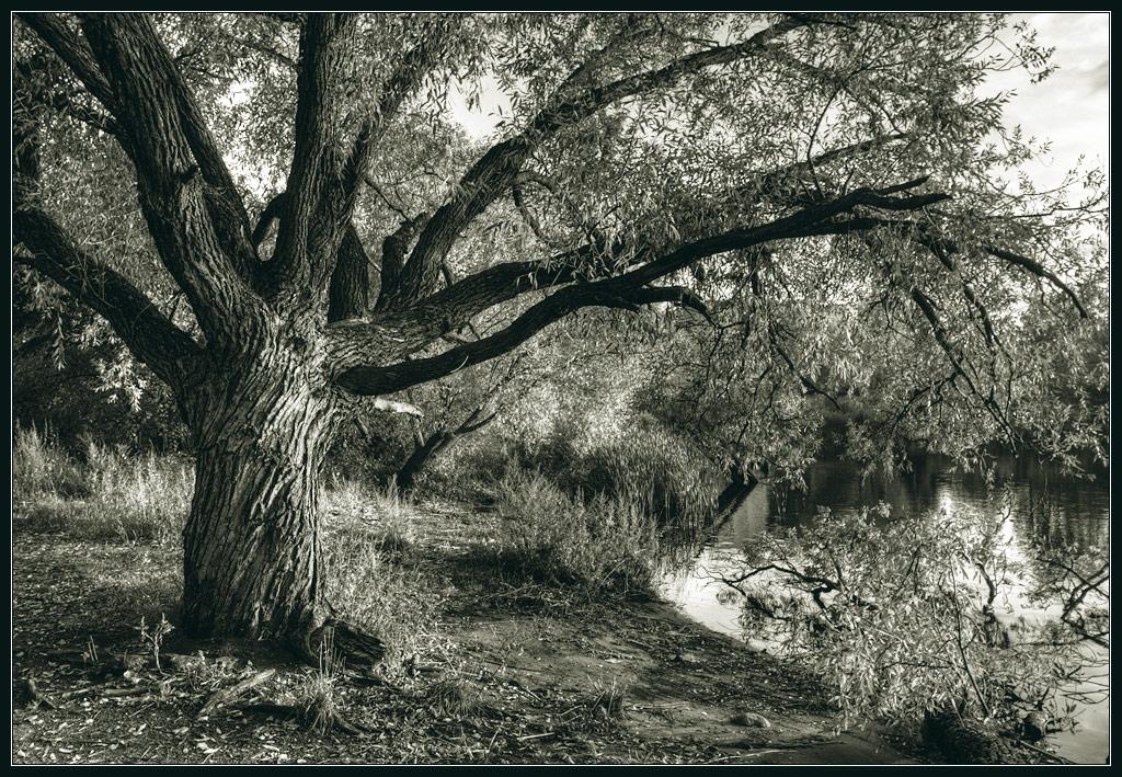 """фото """"Ива плакучая, но высохли слезы"""" метки: пейзаж, черно-белые, осень"""
