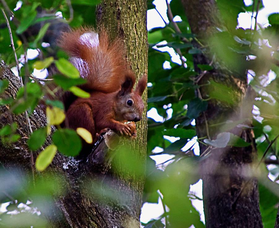 """фото """"Еще один орех"""" метки: природа, дикие животные"""