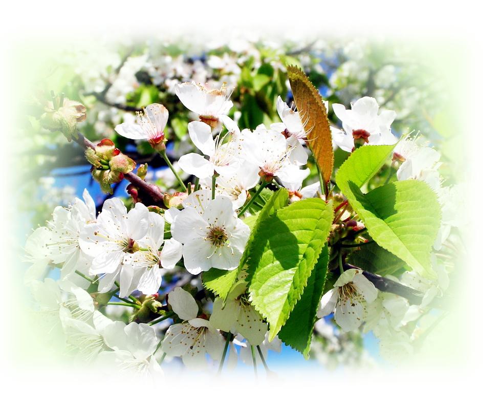 """фото """"Вишня цветёт"""" метки: природа, фрагмент, цветы"""