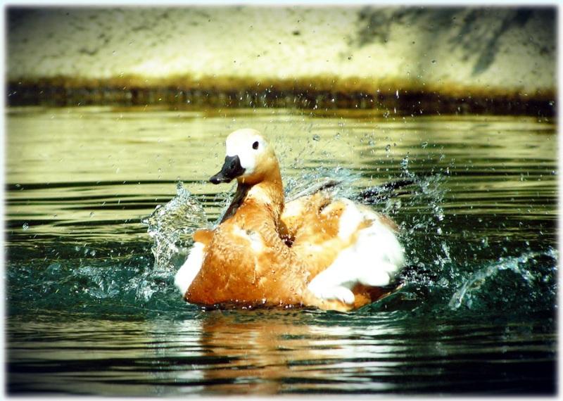 """фото """"Утка в восторге :)"""" метки: природа, дикие животные"""