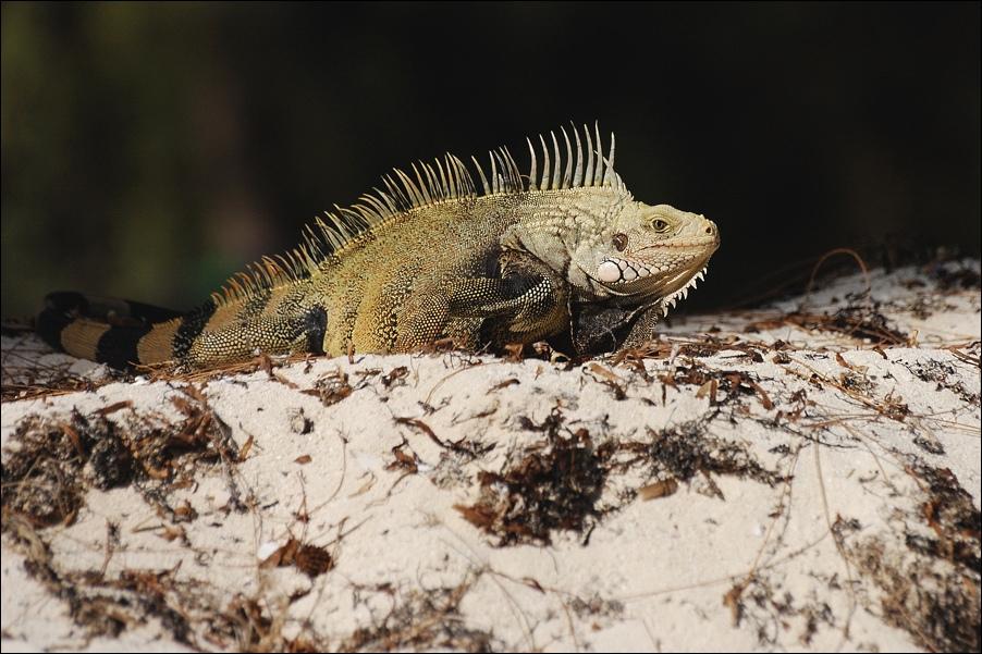 """фото """"Крадущийся дракон :)"""" метки: природа, дикие животные"""