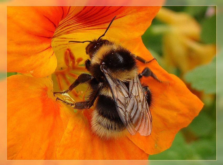 """фото """"Тесно, а работать надо..."""" метки: природа, насекомое"""