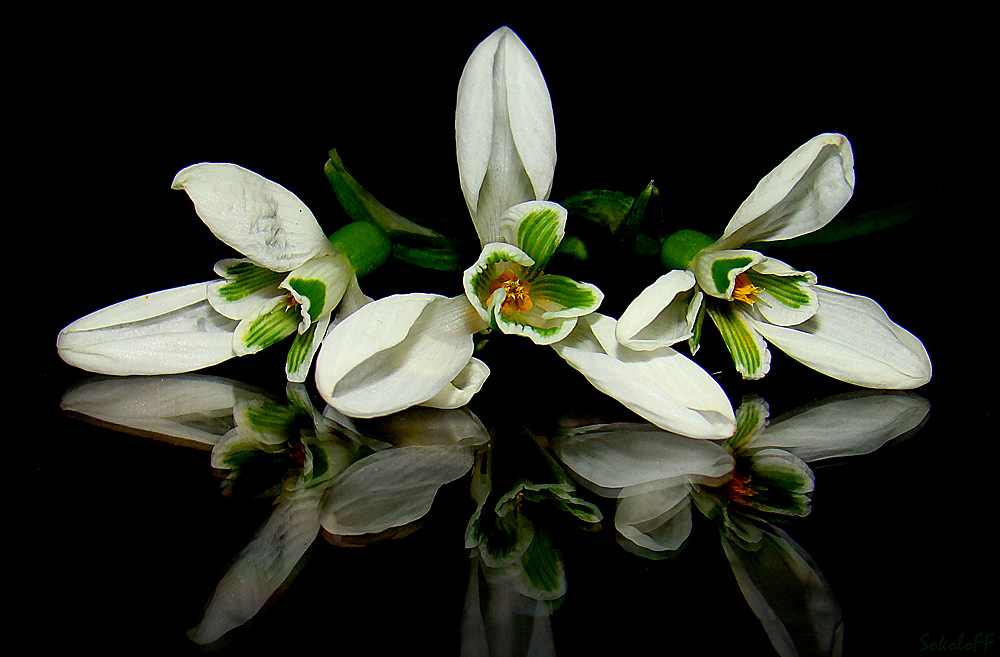 """фото """"Подснежники"""" метки: макро и крупный план, природа, цветы"""