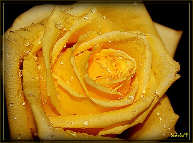 """фото """"Красивые тоже плачут"""" метки: макро и крупный план, природа, цветы"""