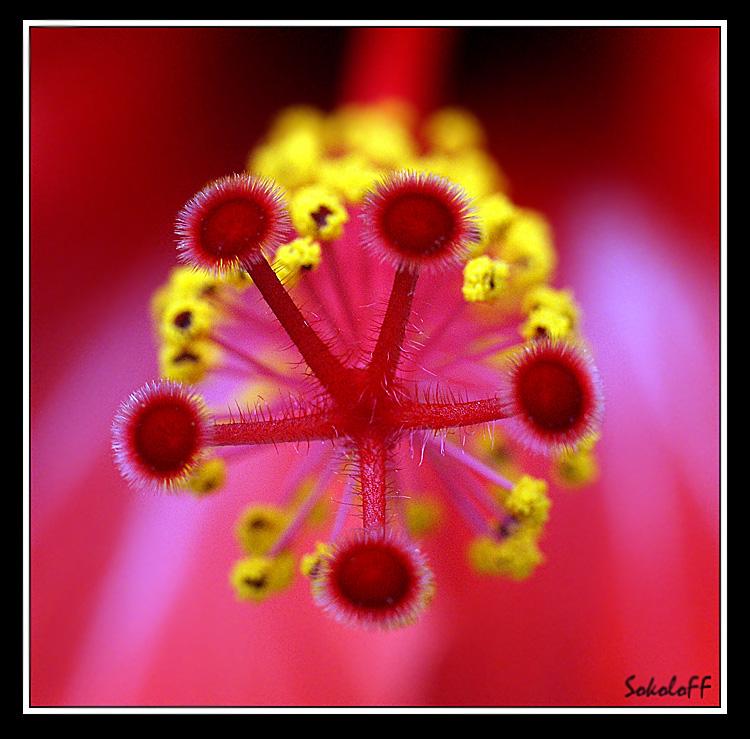 """фото """"Звезда"""" метки: макро и крупный план, природа, цветы"""