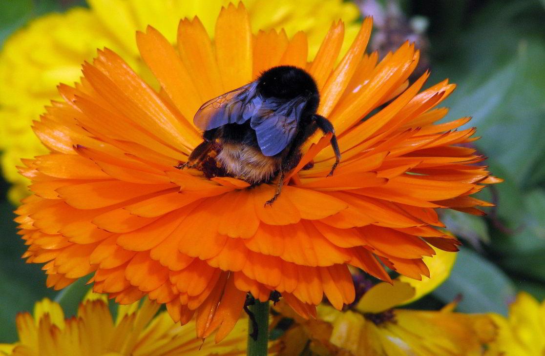 "фото ""Bumble Bee on Marigold."" метки: природа, насекомое"
