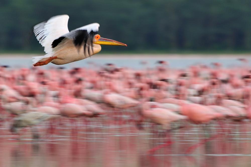 """фото """"Перелёт"""" метки: природа, дикие животные"""